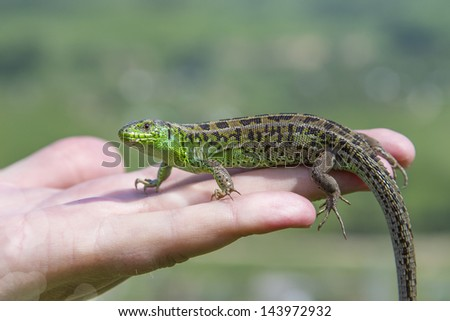 small lizard on a palm on nature background