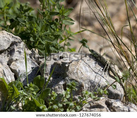 Small lizard on a rock in the woods