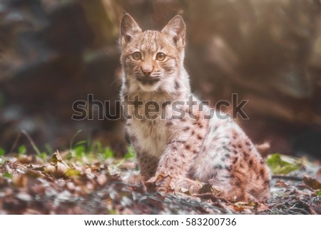 Small lynx sits and waits