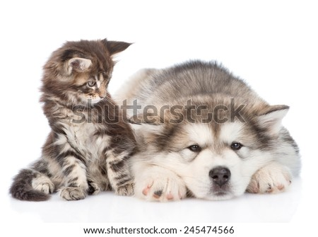 small maine coon cat and sad alaskan malamute dog. isolated on white background
