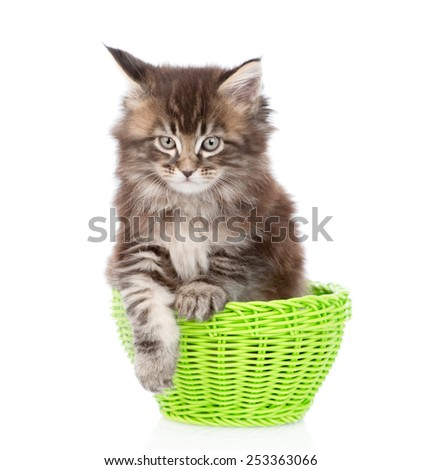 small maine coon cat sitting in green basket. isolated on white background - stock photo