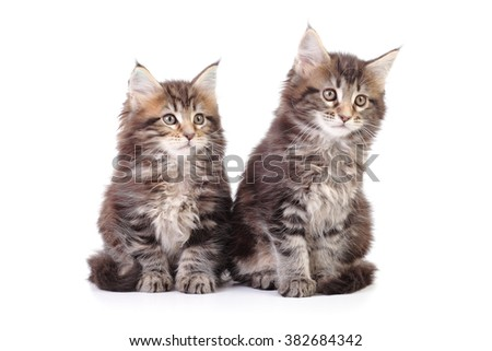 small Maine Coon kitten sitting on white background