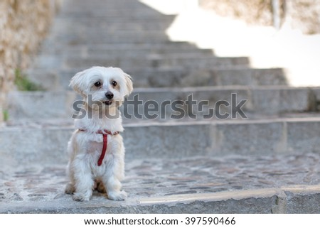 Small male Maltese, attentive to receive orders on a cobbled street. loyalty and tenderness You breathe on her face - stock photo