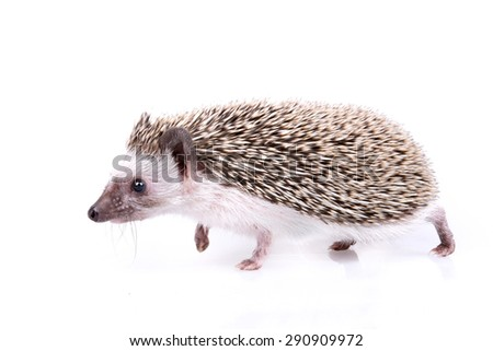 Small male of hedgehog on white background.
