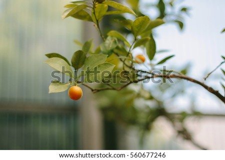 Small mandarin on a branch. Selective focus, shallow DOF