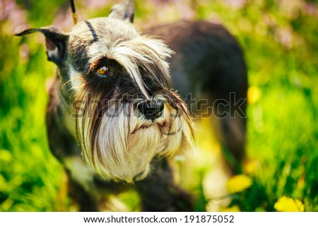 Small Miniature Schnauzer Dog (Zwergschnauzer) sitting In Green Grass Outdoor. Adult black-and-silver with natural ears, the long eyebrows and full beard. - stock photo