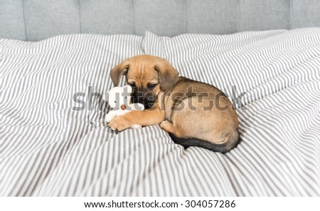 Small Mixed Breed Brown and Black Puppy Playing with Small Toy  - stock photo