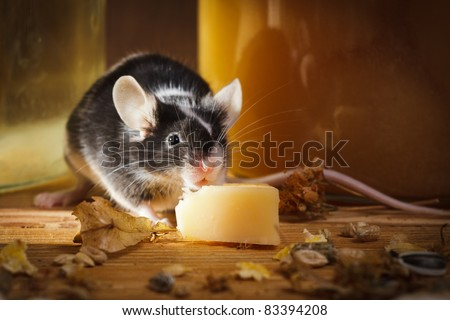 Small mouse eating cheese in basement - stock photo