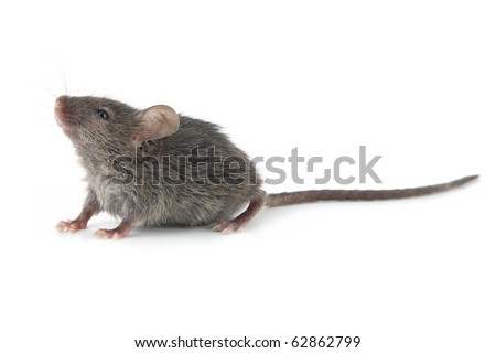 Small mouse isolated on a white background