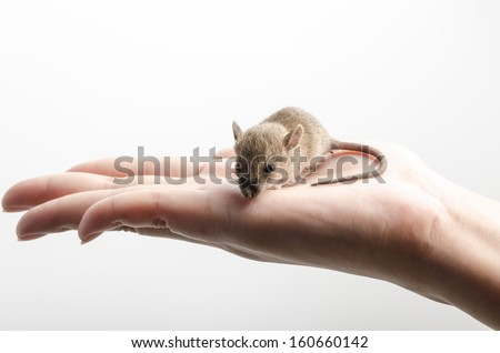 Small mouse or rat in hand isolated