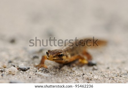 Small Northern Two-lined Salamander, crawling in sand