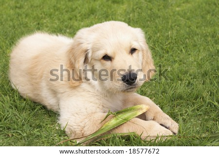 Small obedient golden retriever puppy lying on the green grass holding a plant in his paws - stock photo