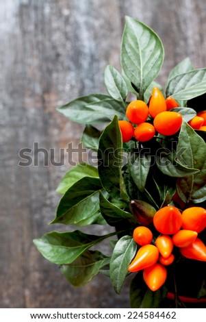 Small orange chili pepper grown in pot - stock photo