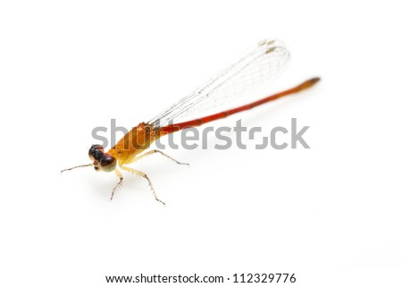 small orange dragonfly isolated on white background - stock photo