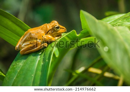 Small orange frog on a large green leaf