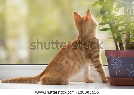 Small, orange kitten lays on the window-sill and look in the window - stock photo