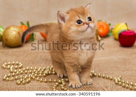 Small orange kitten of the British breed, and Christmas decoration