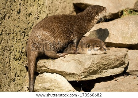 small otter at the zoo - stock photo