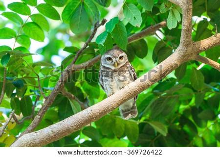Small owl bird on tree - stock photo