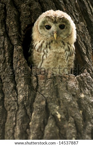 Small owlet in a nest - stock photo
