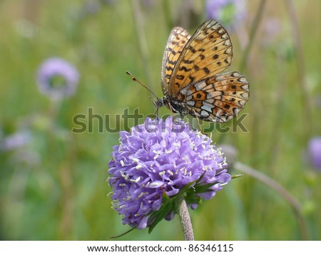 Small pearl-bordered fritillary butterfly, Boloria selene,