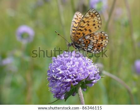 Small pearl-bordered fritillary butterfly, Boloria selene, - stock photo