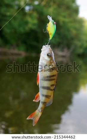 Small perch caught on plastic bait - stock photo