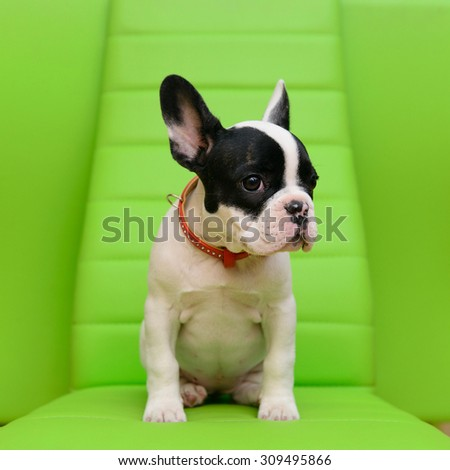 small pet a French Bulldog puppy sitting on a green background
