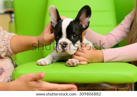 small pet a French Bulldog puppy with human hands - stock photo
