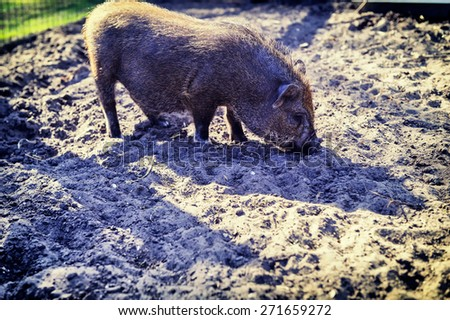 Small pig digging the ground - stock photo