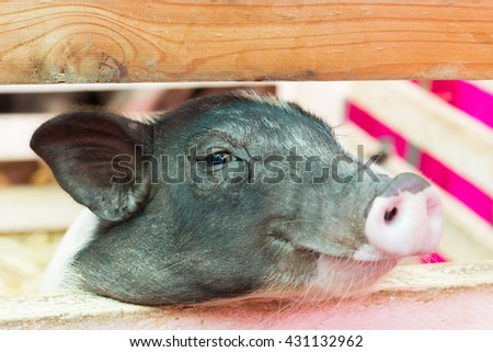Small pig in the cage. Little pig at farm waiting for food. - stock photo