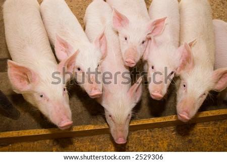 Small pig on a farm - stock photo