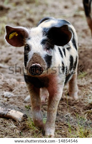 small piglet posing in the mud