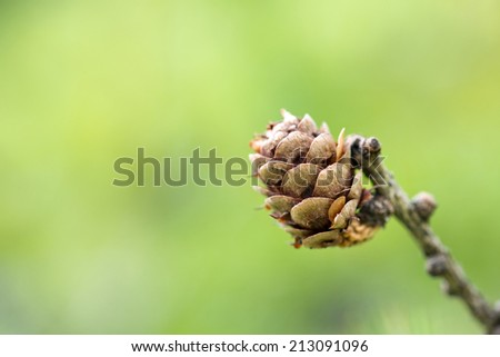 Small pine cone with winged seeds on the end of a small twig over a blurred green background with copy pace