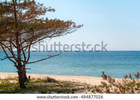 Small pine tree on the sandy beach of a Baltic sea