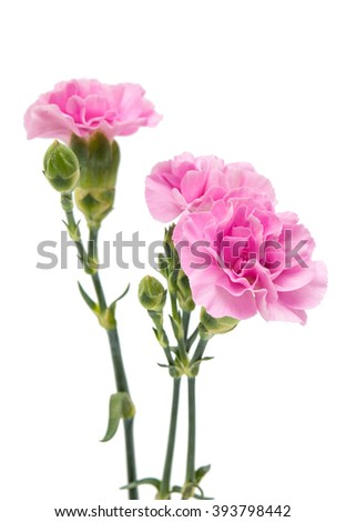 small pink carnation isolated on white background - stock photo