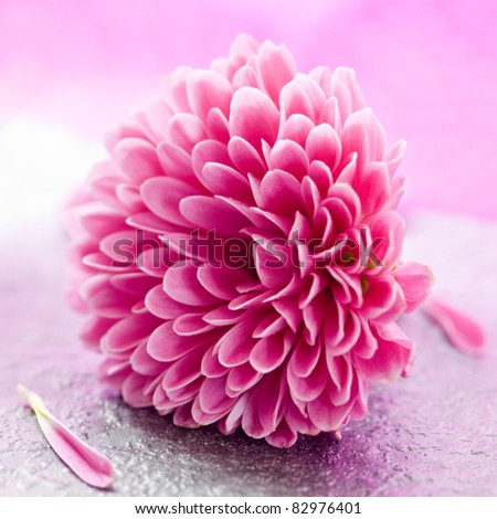 small pink chrysanthemum with petals - stock photo