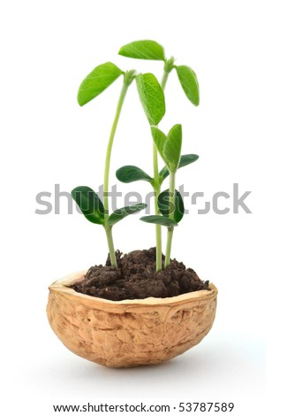 Small plant of soy in a nutshell - stock photo