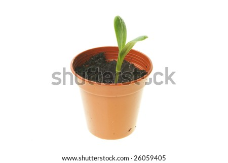 Small plant seedling in a pot isolated on white