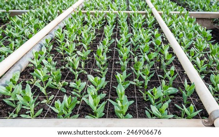 Small plants growing in a Dutch nursery of Lisianthus flowers. - stock photo
