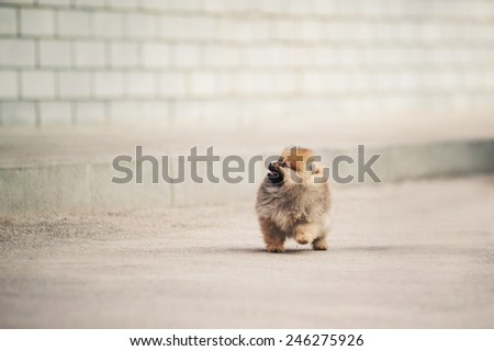 Small Pomeranian Spitz puppy walking in the city