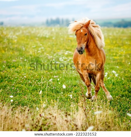 Small pony horse running on the field (Equus ferus caballus) - stock photo