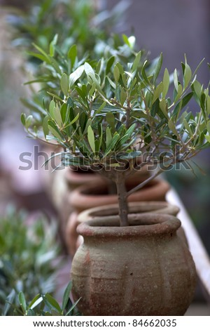 Small potted olive trees in a garden - stock photo