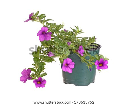 Small potted plant of a purple-flowered Calibrachoa (Calibrachoa x hybrida) ready for transplanting into a home garden isolated against a white background - stock photo