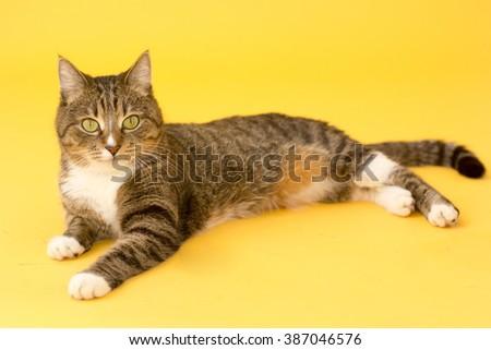 Small pretty greeneyed tabby cat isolated on yellow - stock photo