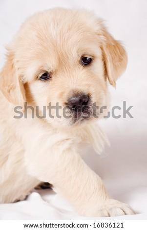 Small pretty retriever puppy standing on white background - stock photo