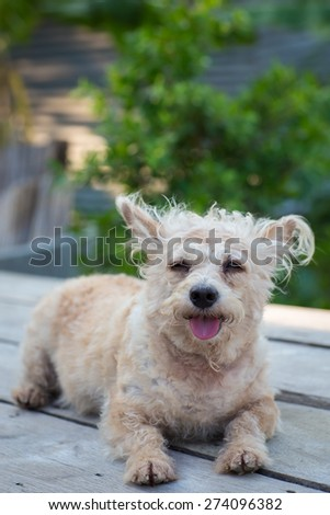 small puddle dog  on wood table in garden