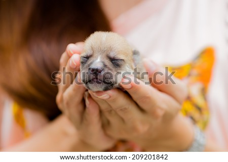 Small puppy dog resting in woman hand - closeup