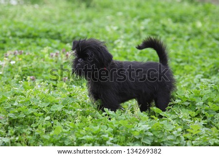Small puppy Griffon in the grass - stock photo