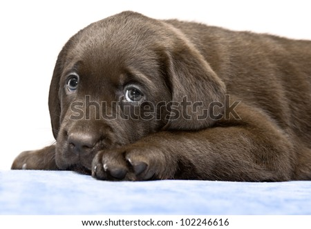 Small puppy lying on a blue mat on the floor. Brown labored's pup with sad eyes, looks plaintively - stock photo
